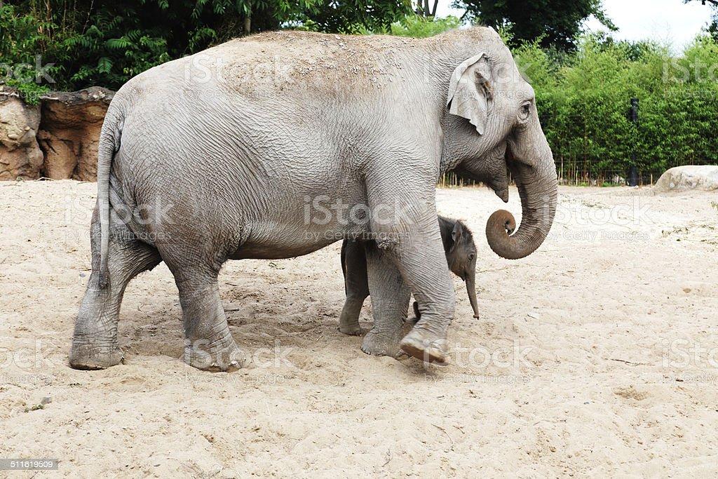 Mother elephant with her newborn baby elephant stock photo