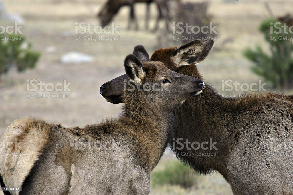 Mother Elk And Her Fawn in Rocky Mountain National Park stock photo