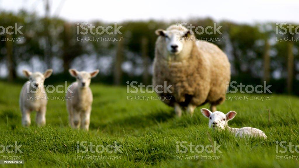 Mother ewe with three baby lambs stock photo