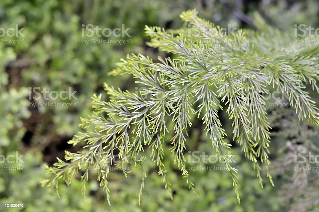 Mother Fern stock photo