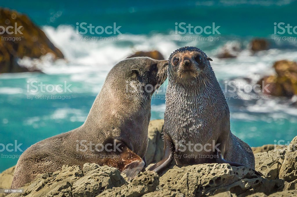 Mother fur seal kissing newborn young stock photo
