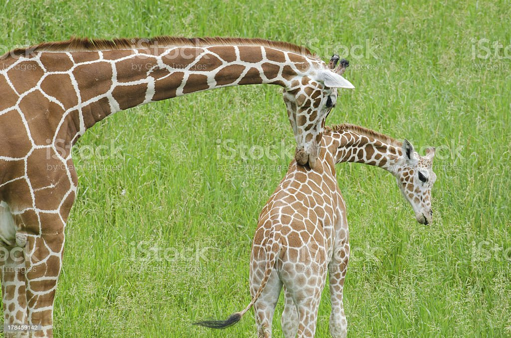 Mother Giraffe Licking its Baby royalty-free stock photo