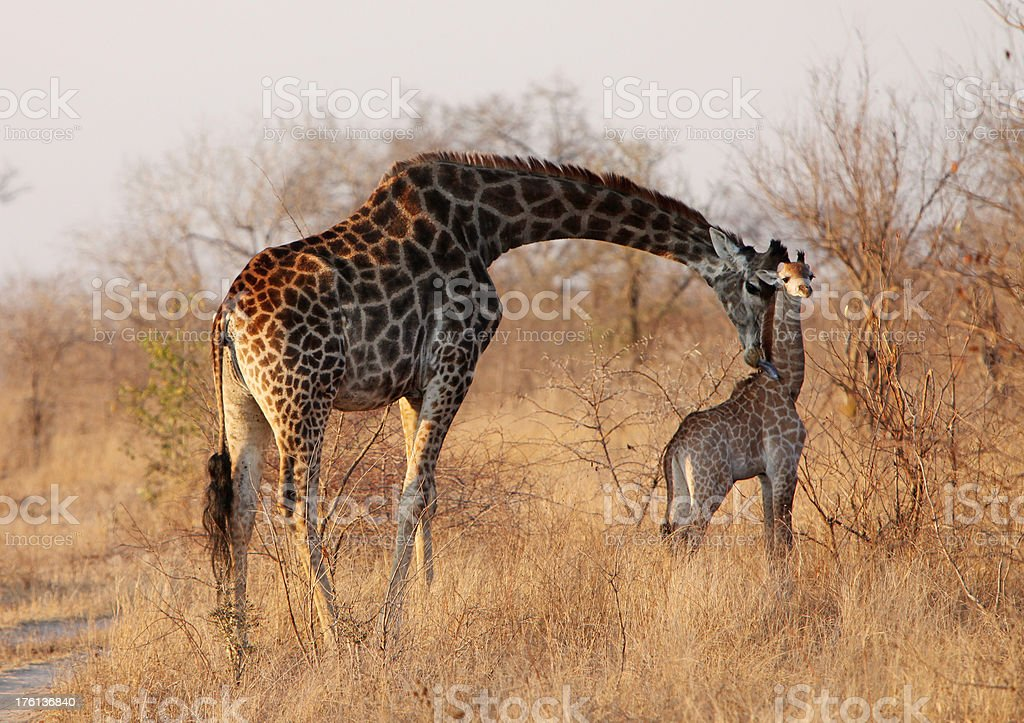 Mother Giraffle Nuzzling Young Calf royalty-free stock photo