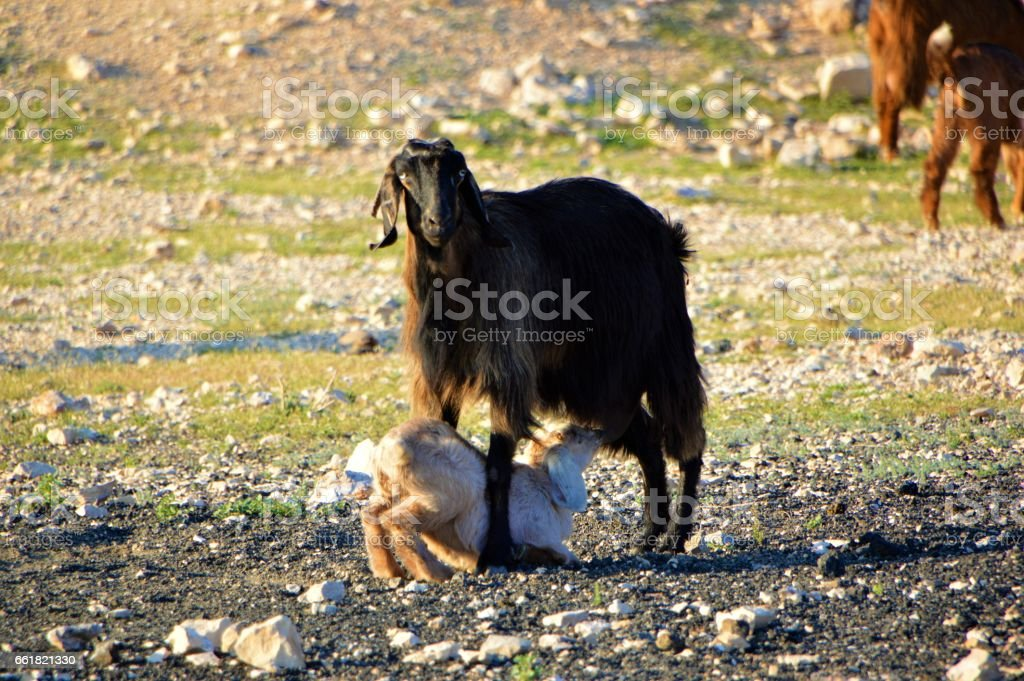 Mother Goat and Baby stock photo