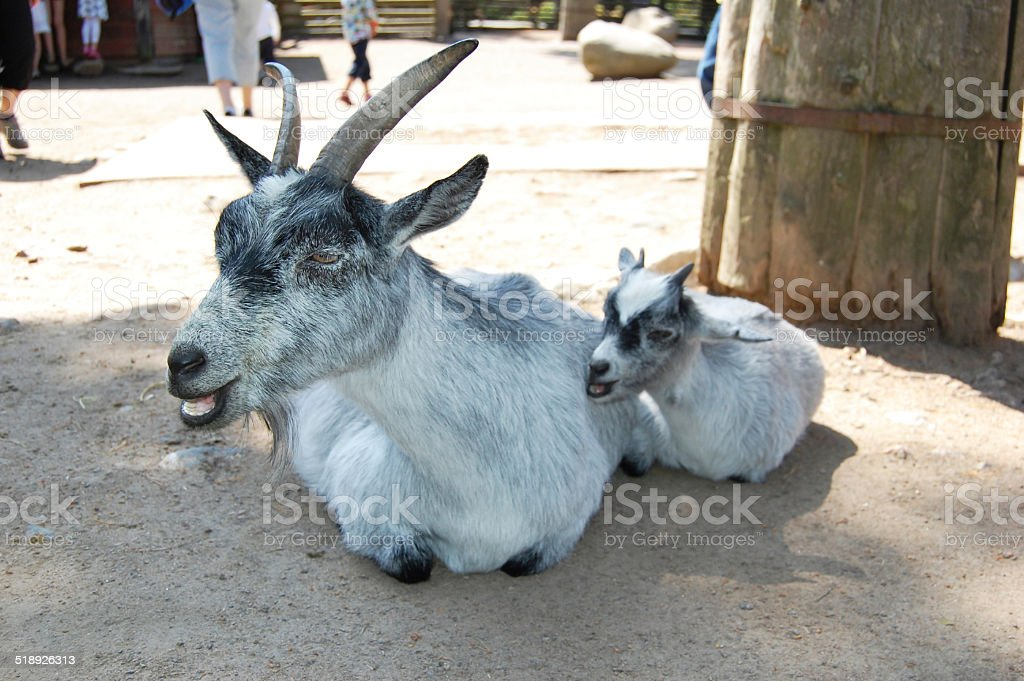 Mother goat with her baby on a farm stock photo