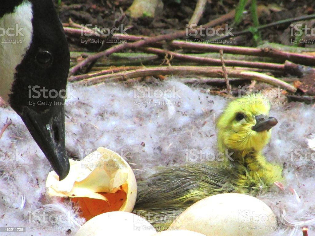 mother goose and nest stock photo