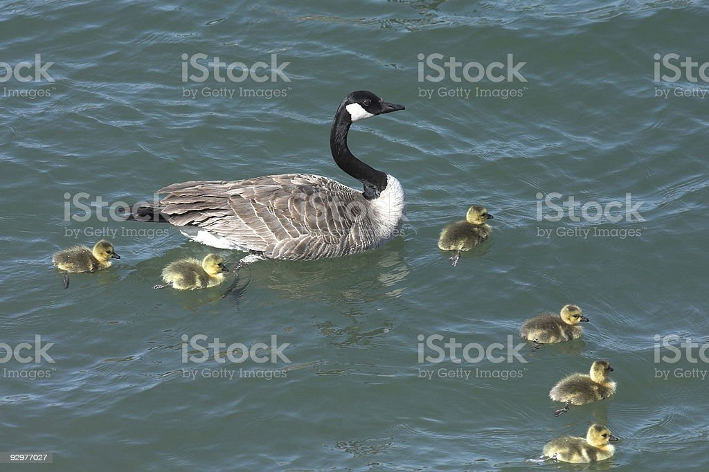 Mother Goose Swimming in Water With Her Goslings stock photo