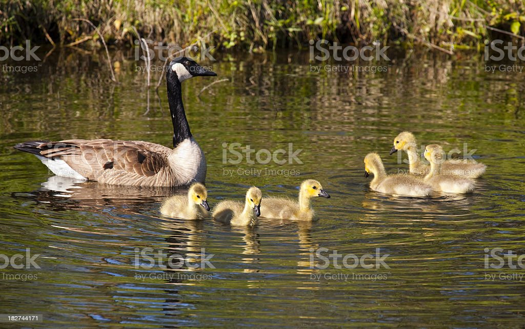 Mother Goose Swimming With Family of Baby Goslings stock photo