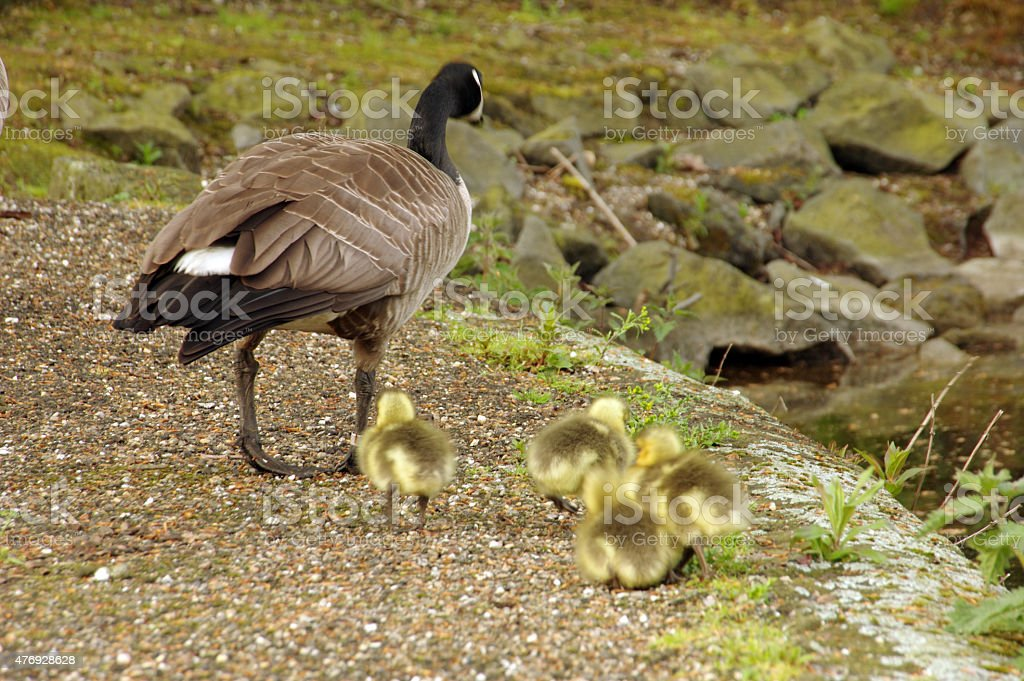 Mother goose with chicks stock photo