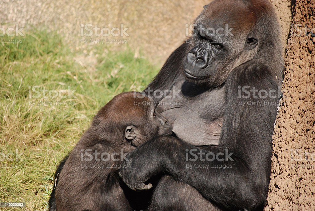 Mother Gorilla Nursing her young royalty-free stock photo