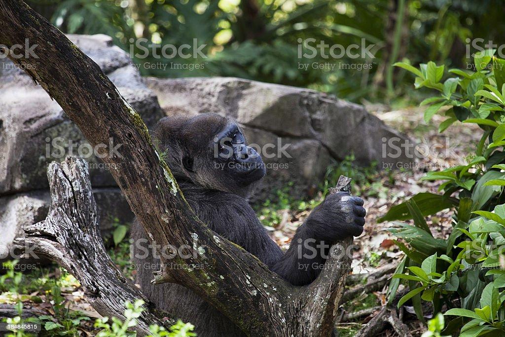 Mother gorilla stock photo