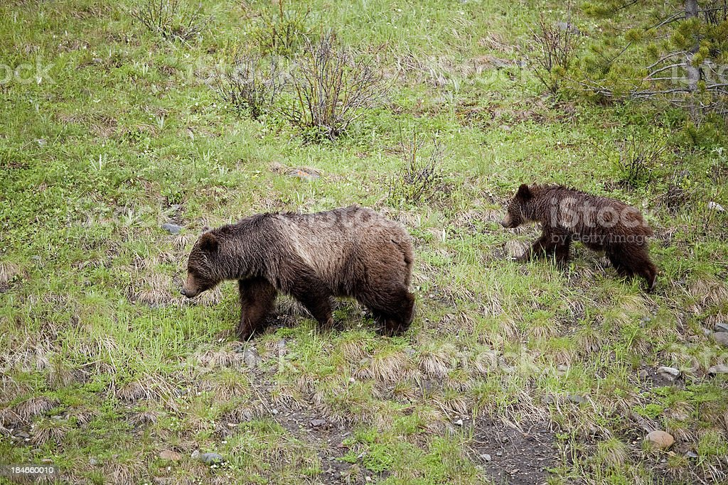Mother Grizzly with cub royalty-free stock photo