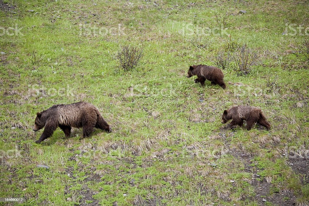 Mother Grizzly with cubs royalty-free stock photo