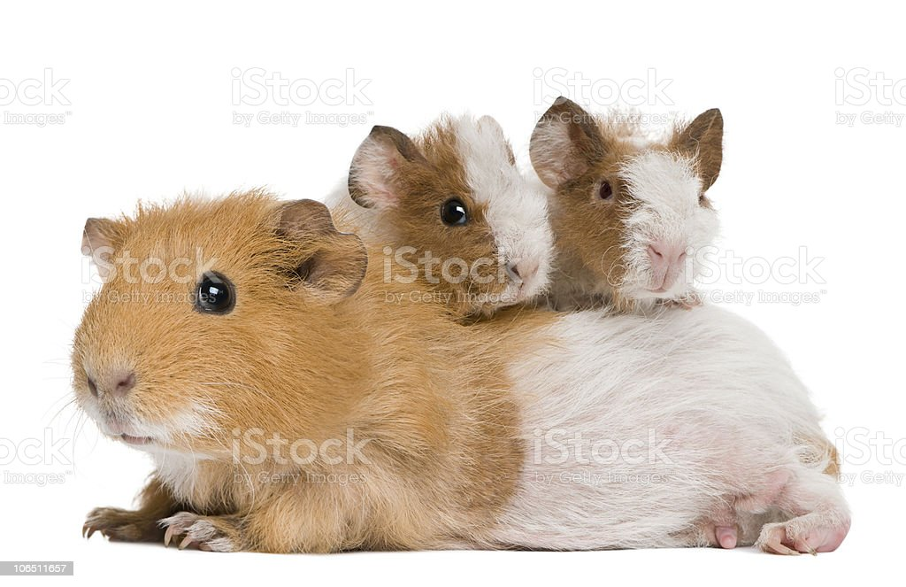 Mother Guinea Pig and her two babies. stock photo