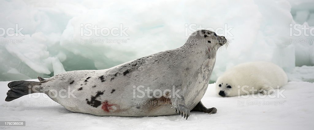 Mother harp seal cow and newborn pup on ice stock photo