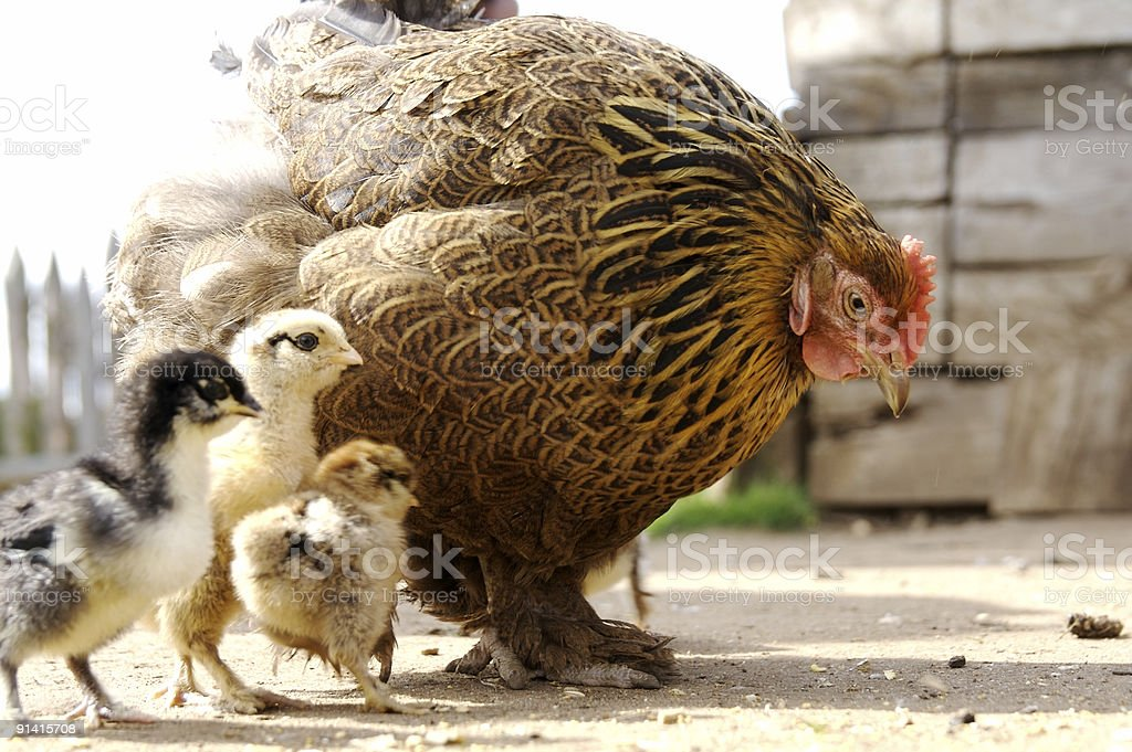 Mother Hen and her Chicks... stock photo