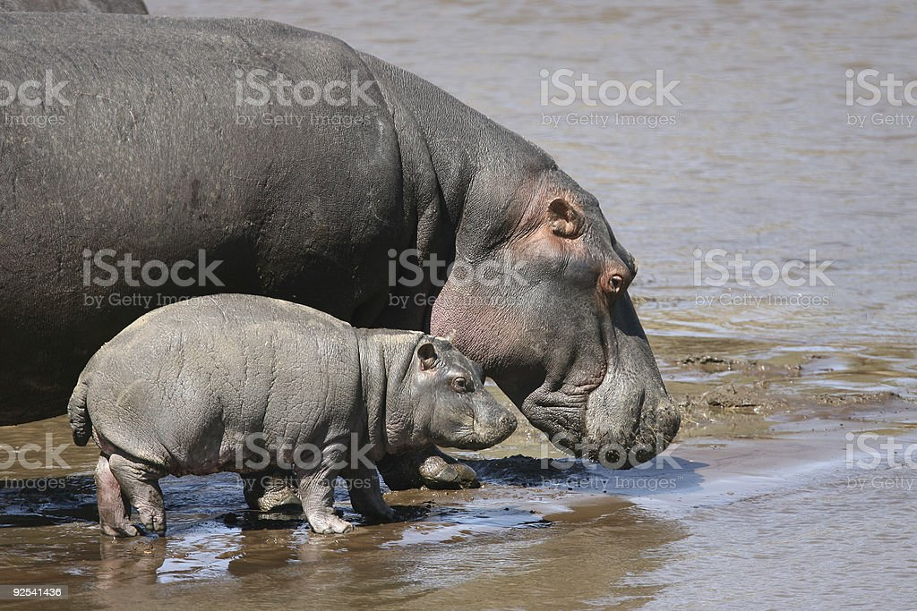 Mother Hippo and Baby stock photo