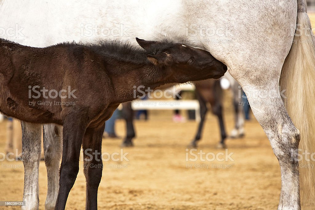 Mother horse and nursing baby royalty-free stock photo