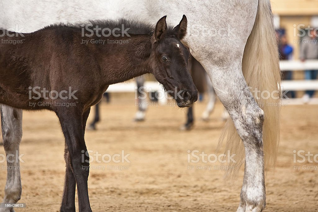 Mother horse and nursing baby stock photo
