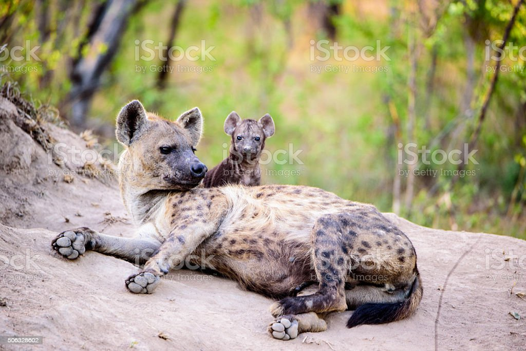 Mother Hyena with a cute pup stock photo