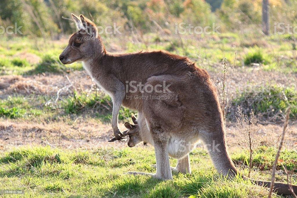 Mother kangaroo and joey stock photo