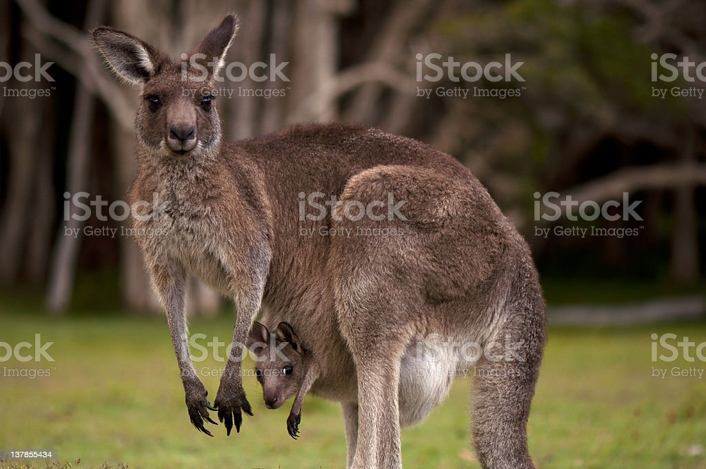 Mother kangaroo in the forest with her baby in her pouch stock photo