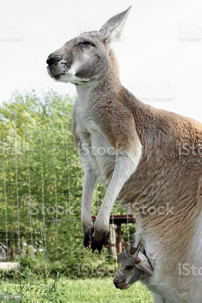 mother kangaroo stock photo