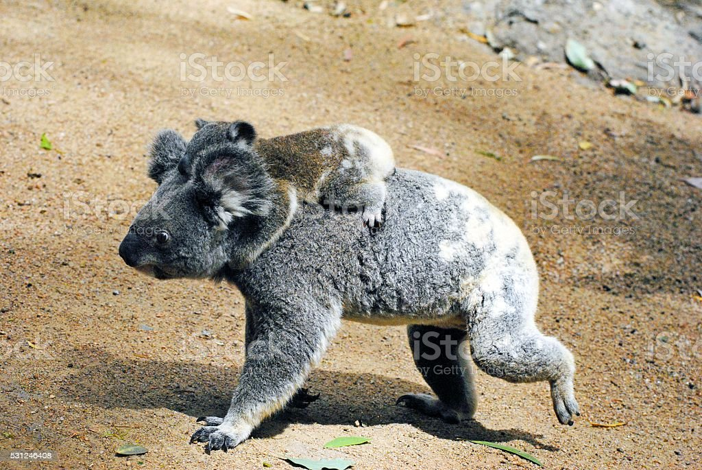 Mother koala with baby on her back. stock photo