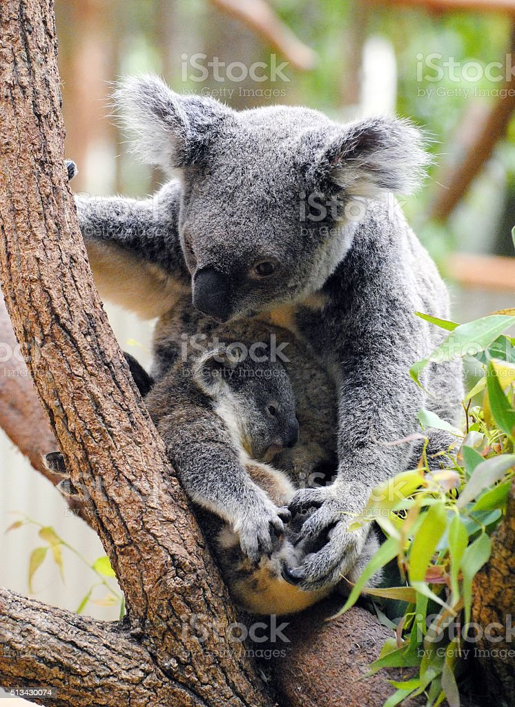 Mother koala with her baby stock photo