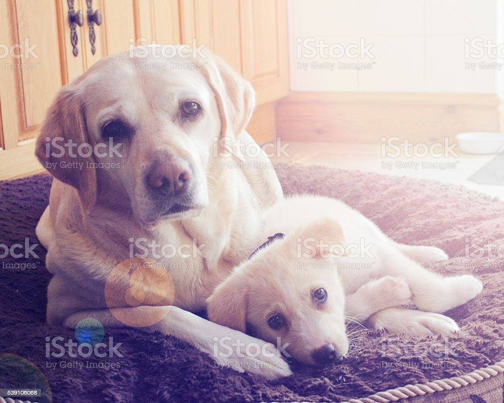 Mother Labrador with puppy. stock photo