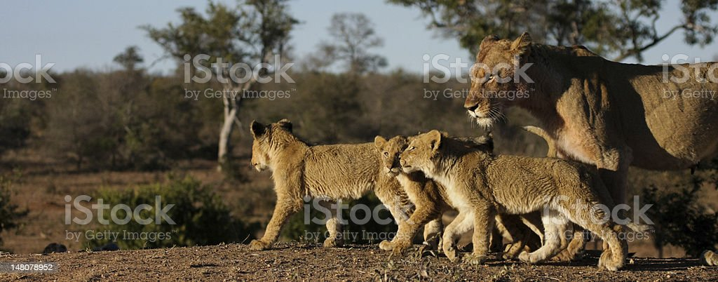 Mother lion and three cubs after kill stock photo
