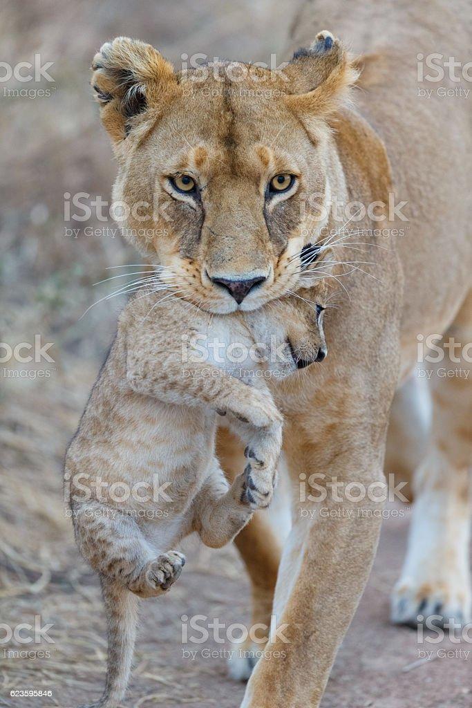Mother Lion Carrying Cub, Serengeti National Park, Tanzania Africa stock photo