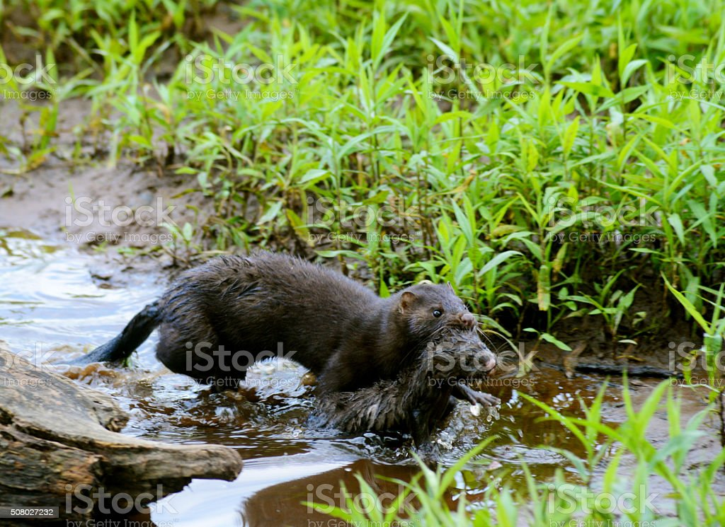 Mother Mink carrying her baby to her den. stock photo