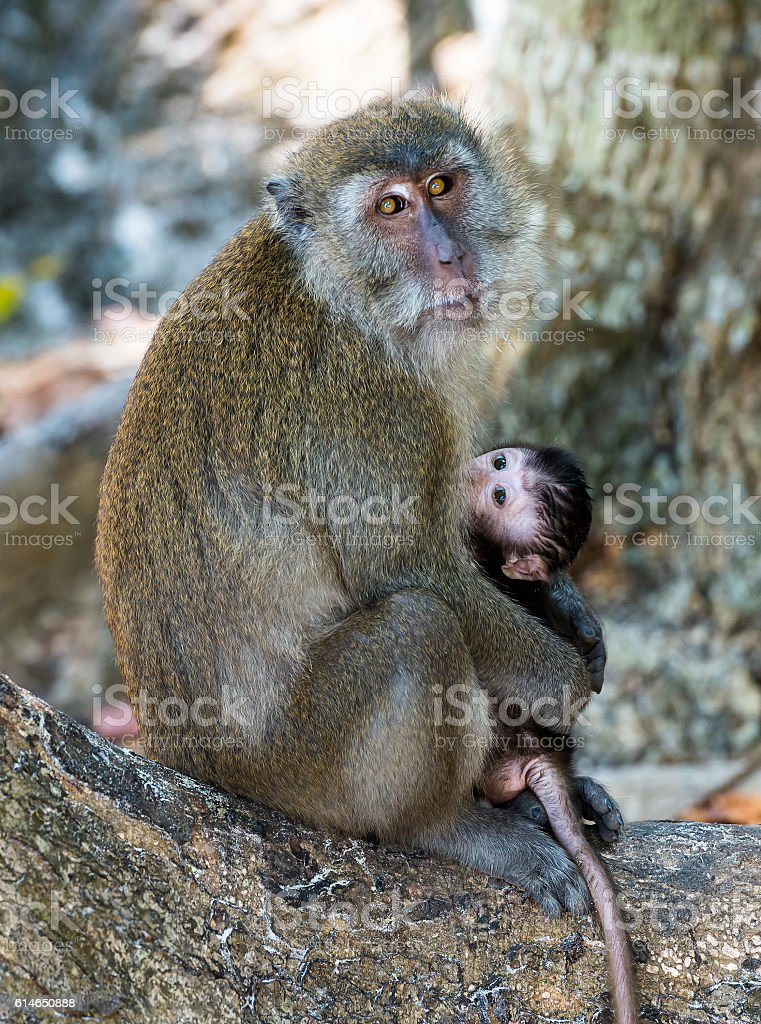 mother monkey holding her baby cub stock photo