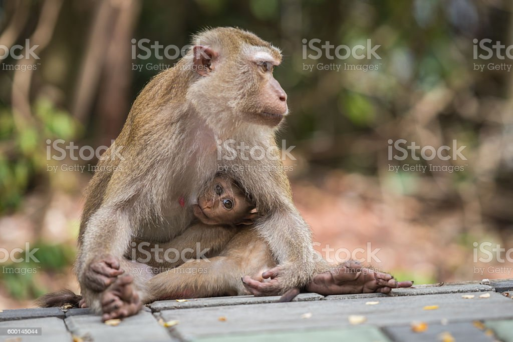 Mother monkey with her cute baby in nature of Thailand stock photo