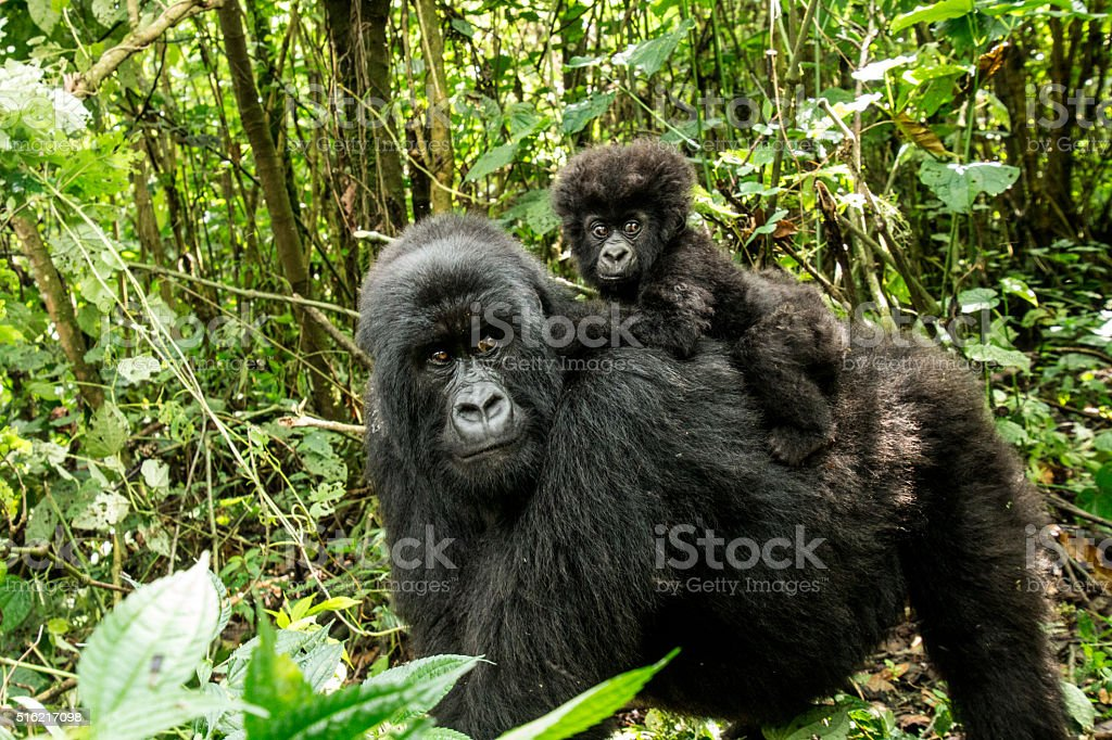 Mother Mountain gorilla with baby stock photo