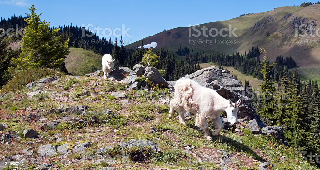 Mother Nanny and Baby Kid Mountain Goats descending Hurricane Hill stock photo