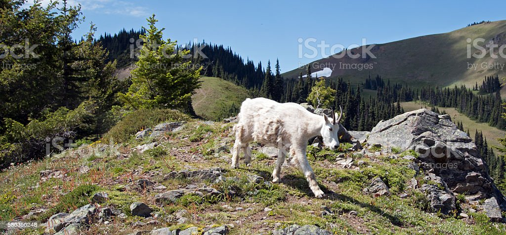 Mother Nanny Mountain Goat descending Hurricane Hill Olympic National Park stock photo