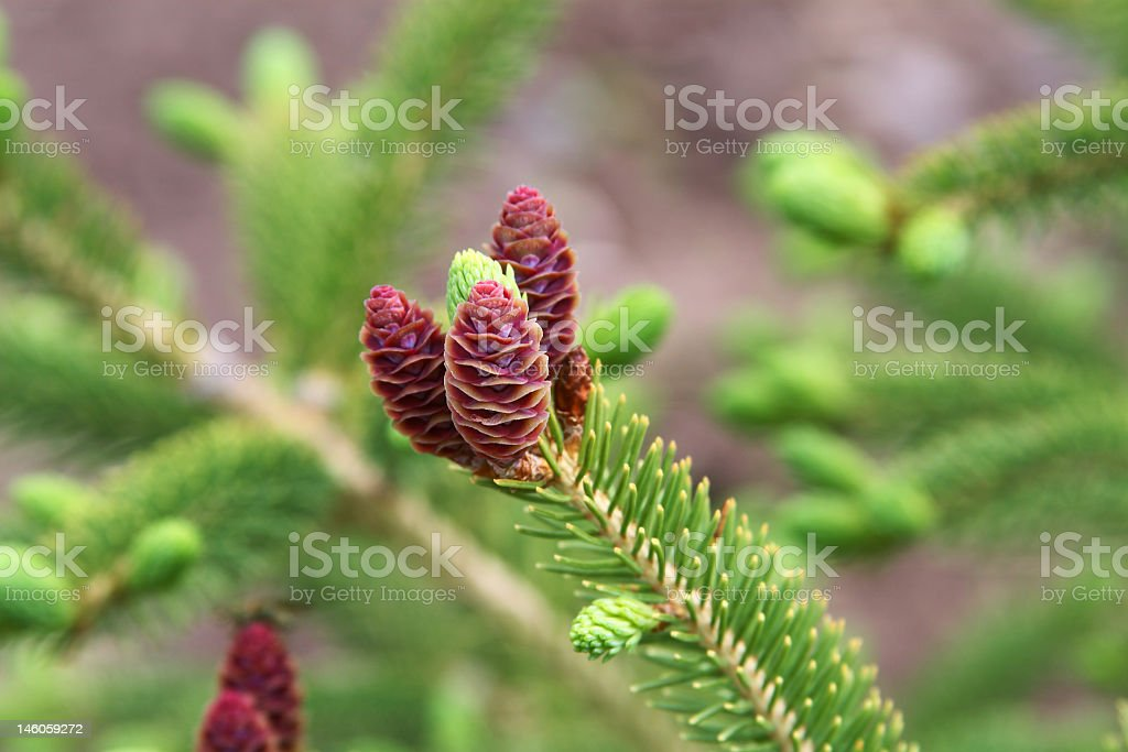 Mother Nature's white spruce cones stock photo