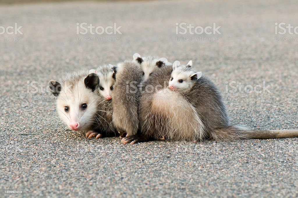 A mother opossum with its four babies on the pavement stock photo