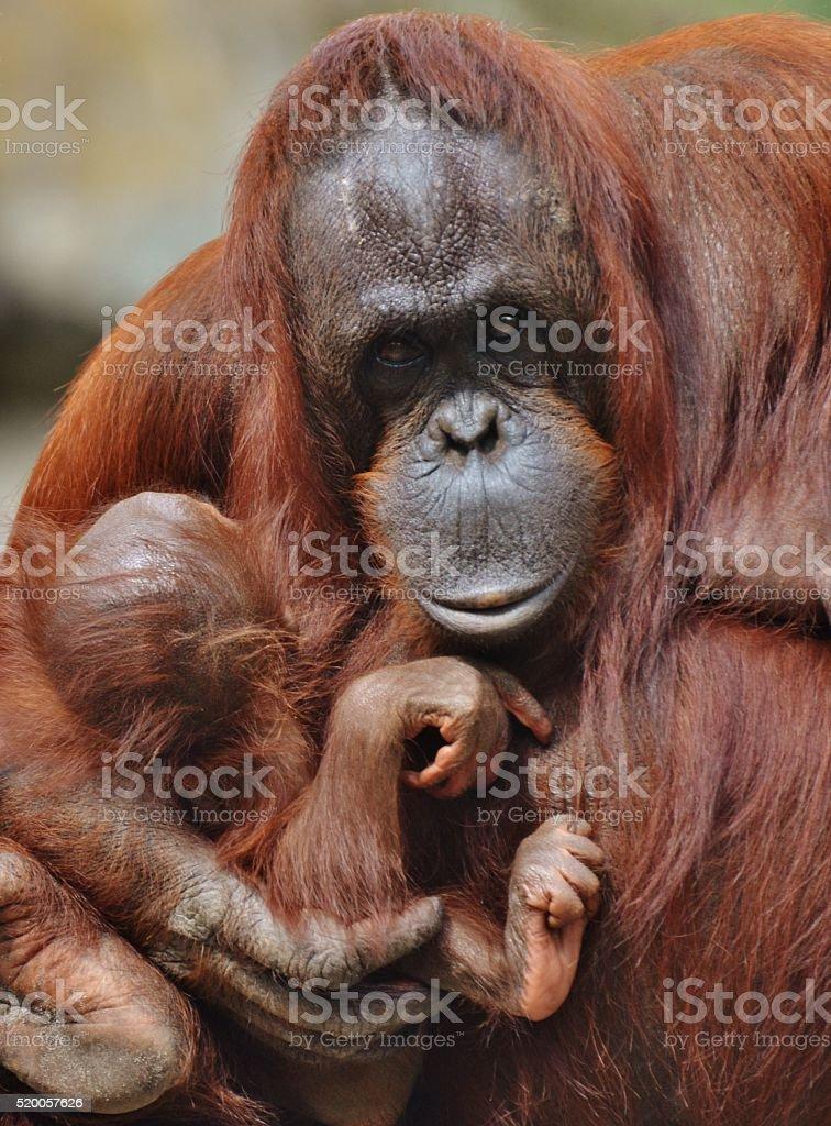 Mother Orangutan with Baby stock photo