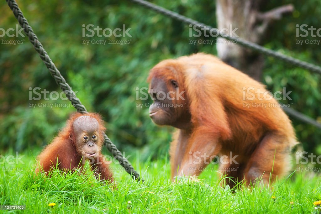 mother orangutan with her baby stock photo