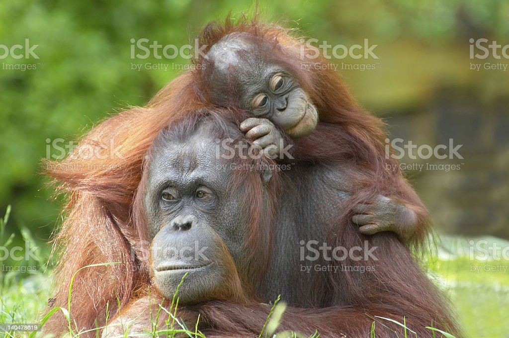 mother orangutan with her baby stock photo