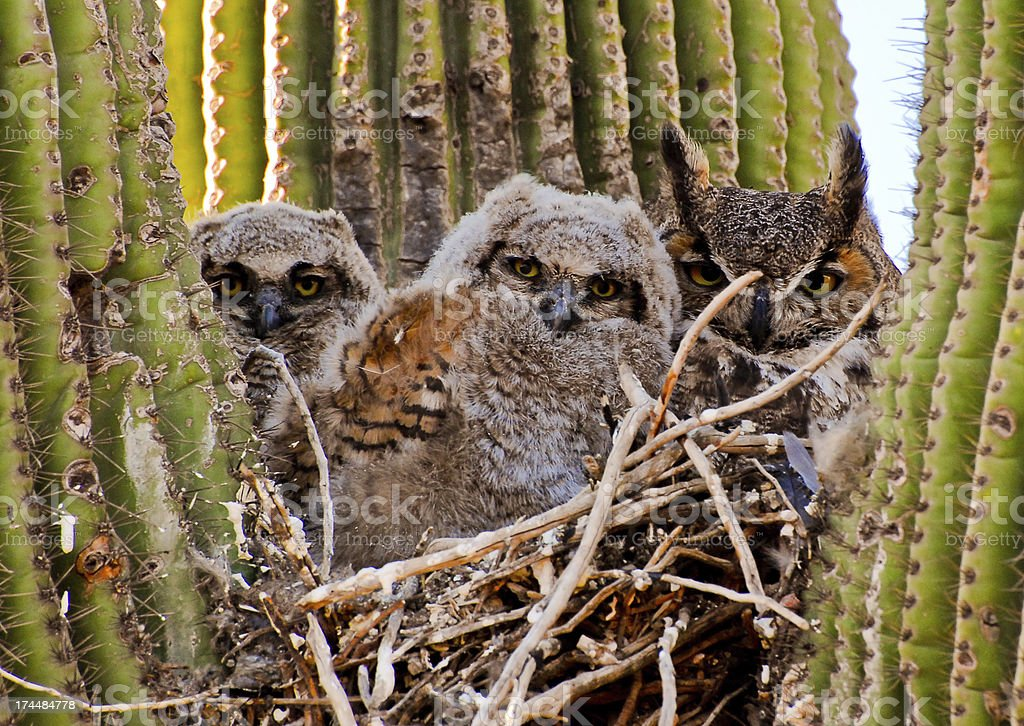 Mother Owl with Two Young Owls royalty-free stock photo