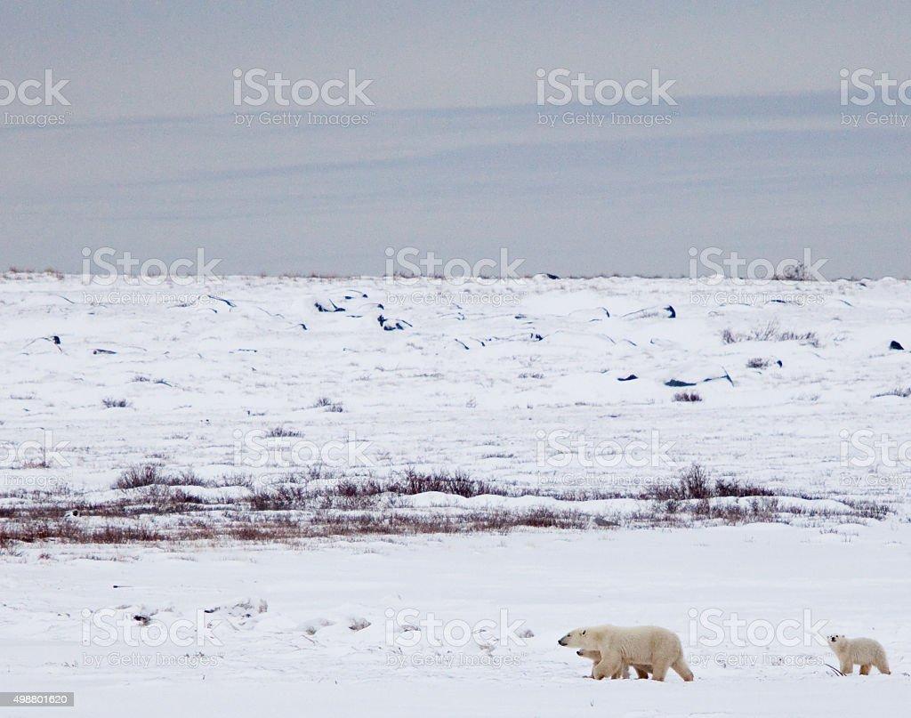 Mother Polar Bear and Cubs stock photo