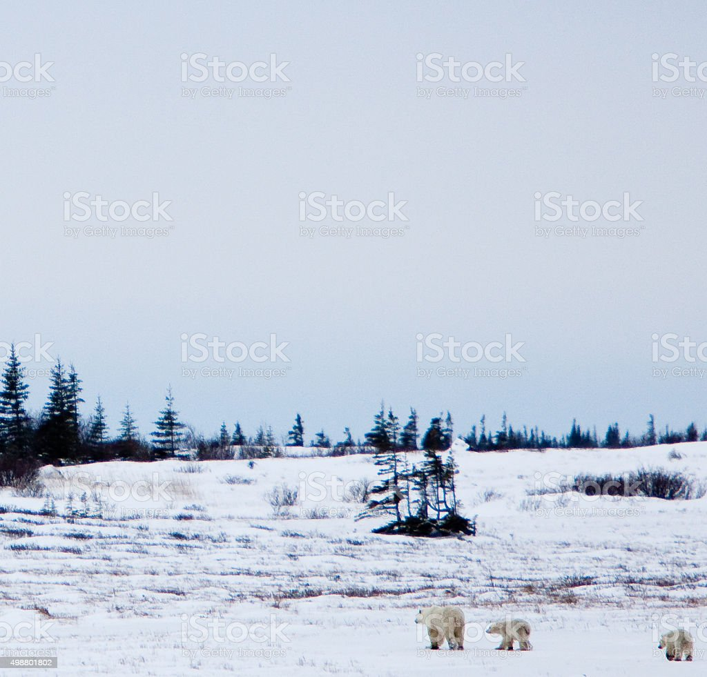 Mother Polar Bear and her two Cubs stock photo