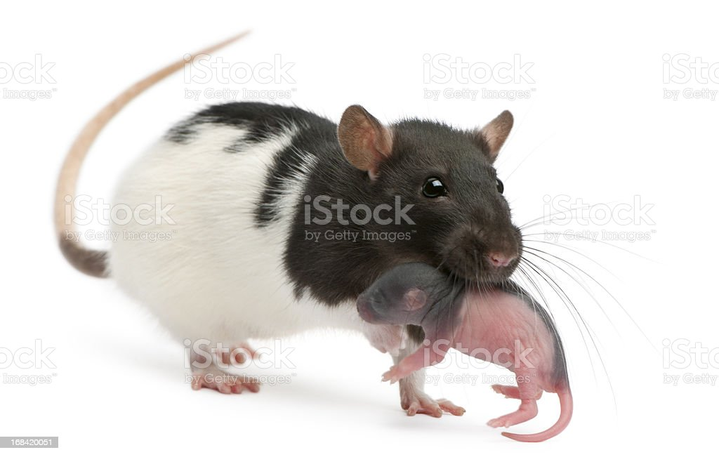 Mother rat carrying her baby, 5 days old, white background. royalty-free stock photo