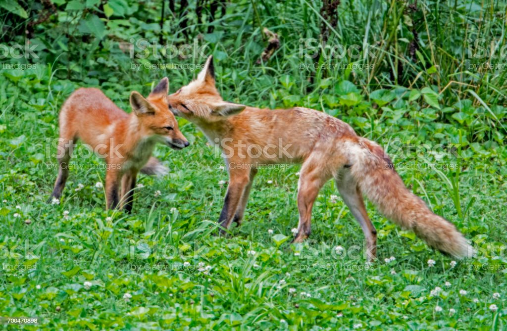 Mother Red Fox licks her baby clean. stock photo