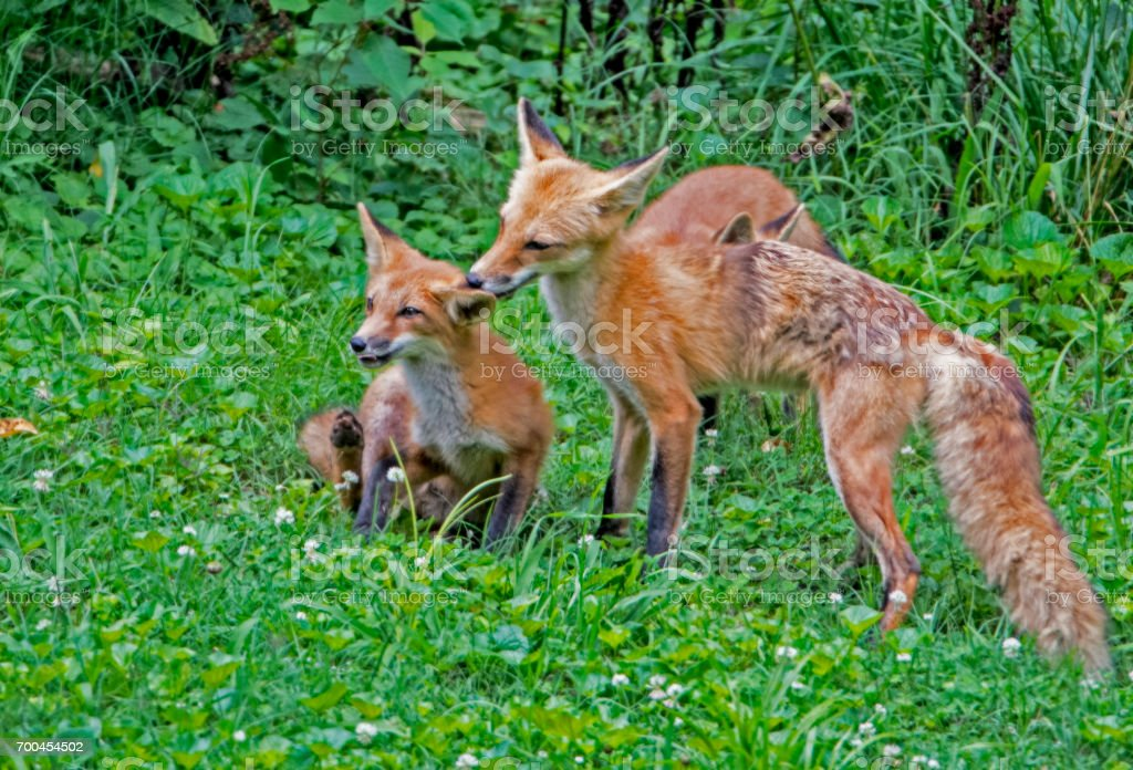 Mother Red Fox licks her baby. stock photo