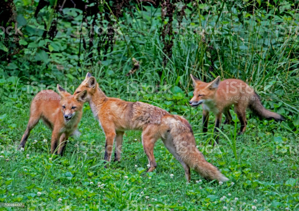 Mother Red Fox washes her baby. stock photo